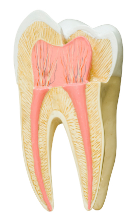 Endodontics and root canal therapy by dentist in Seattle, WA.